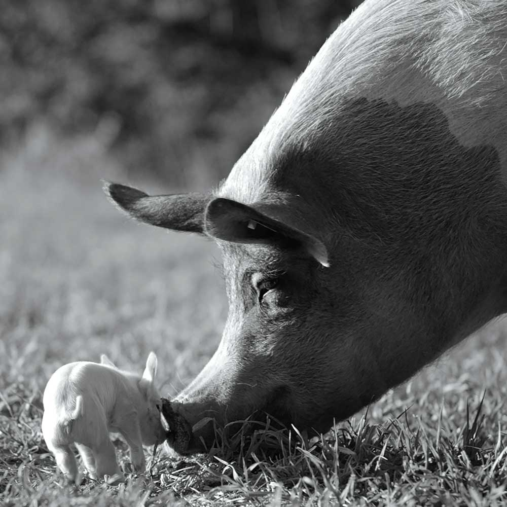 A black and white photograph of a large pig nuzzling a baby pig.