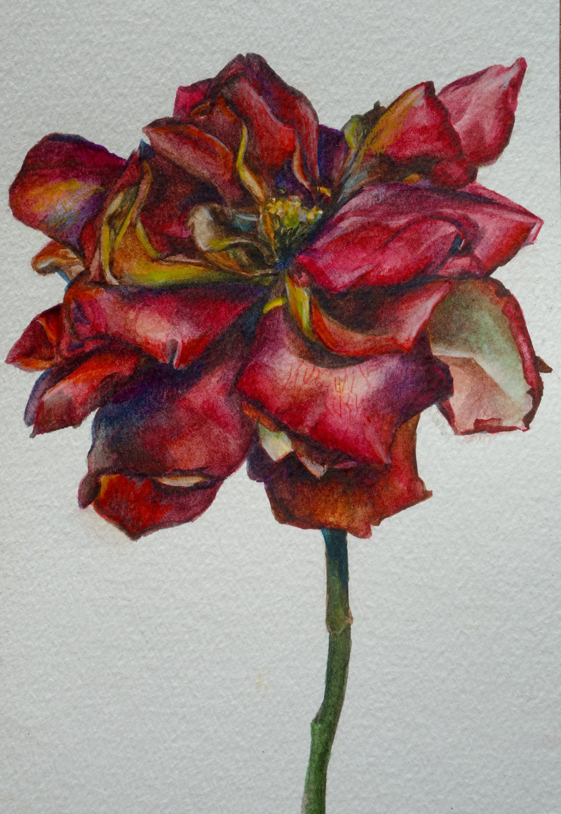 wilting-rose-submitted-by-jess-murray_51160770754_o